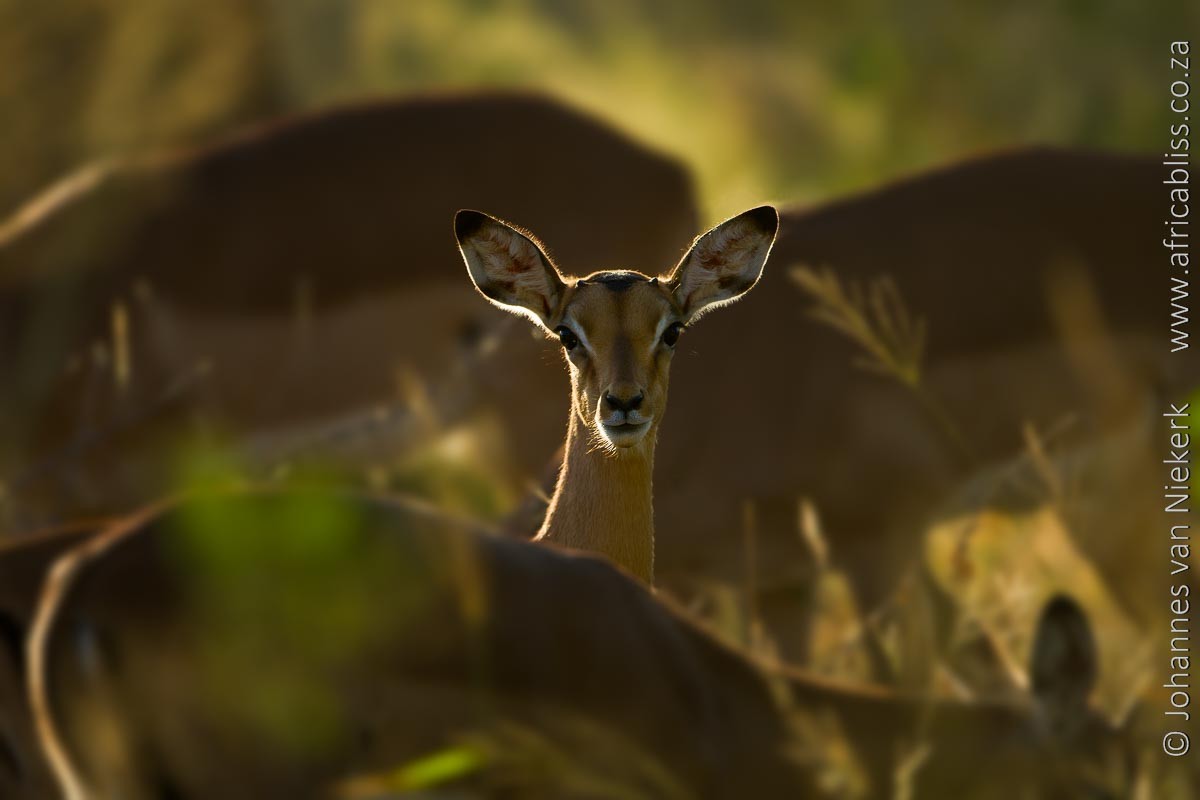 Wild Rivers Private Nature Reserve Wildlife Impala