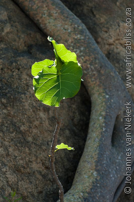 Rockfig, Leaf, Wild Rivers Private Nature Reserve, Johannes van Niekerk